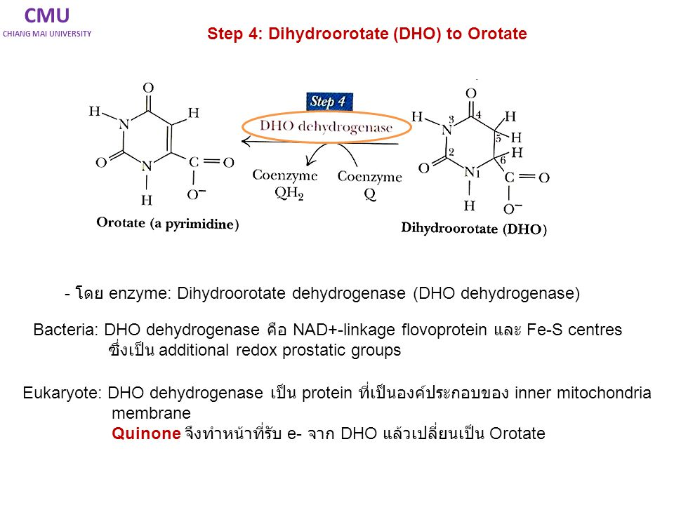 CMU Step 4: Dihydroorotate (DHO) to Orotate