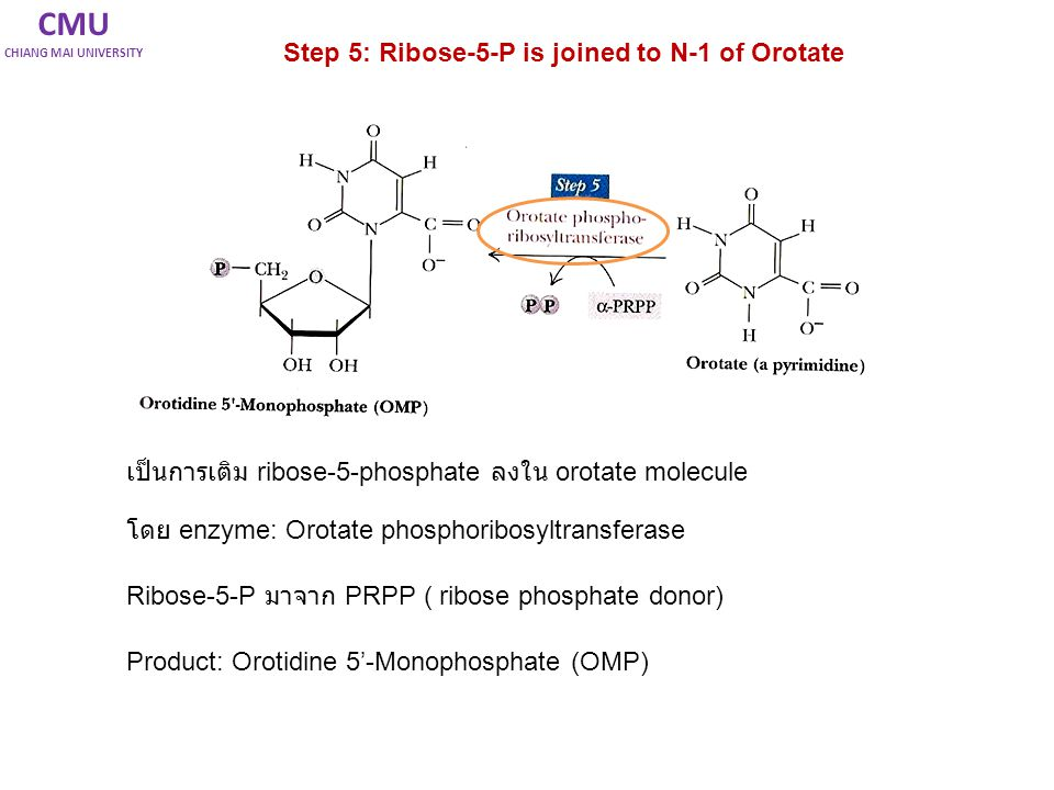 CMU Step 5: Ribose-5-P is joined to N-1 of Orotate