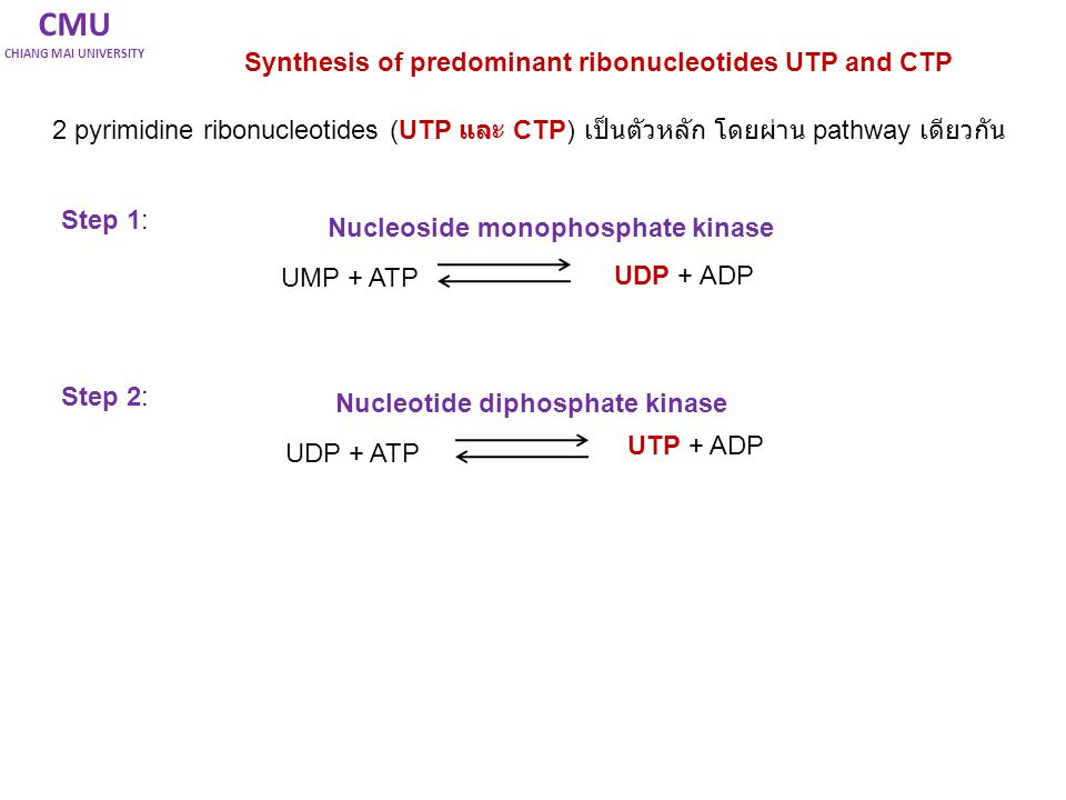 CMU Synthesis of predominant ribonucleotides UTP and CTP
