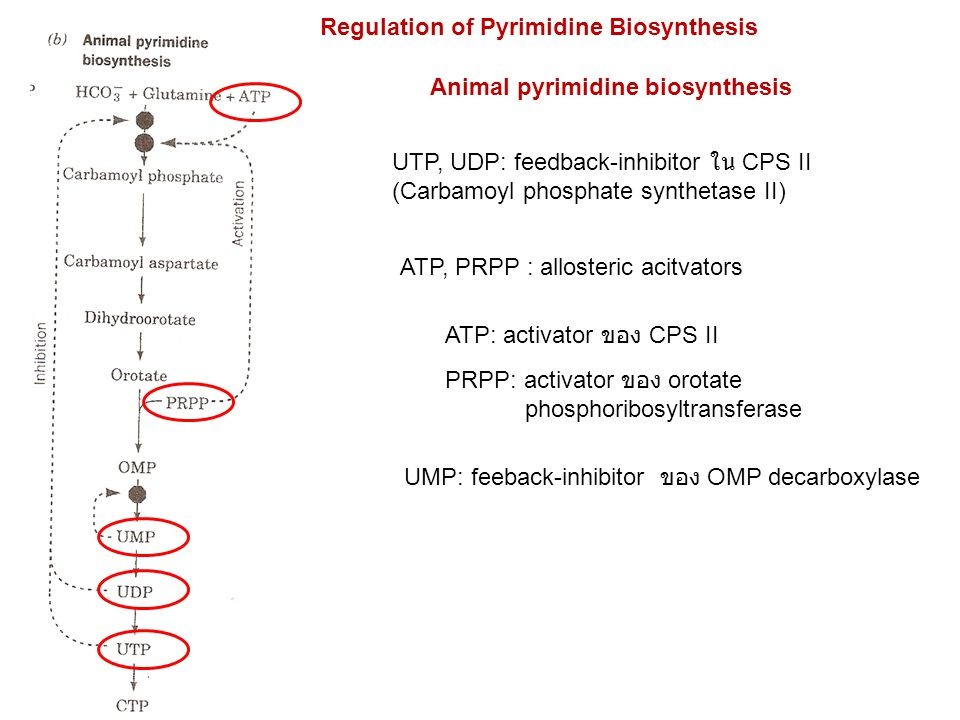 Regulation of Pyrimidine Biosynthesis