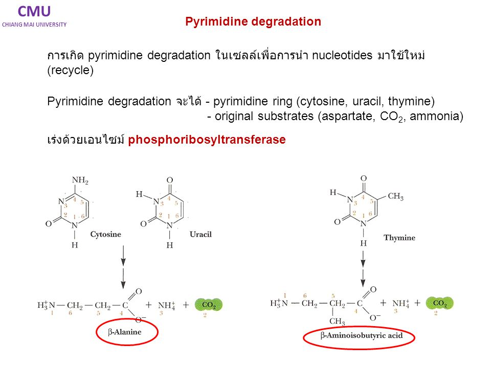 CMU Pyrimidine degradation