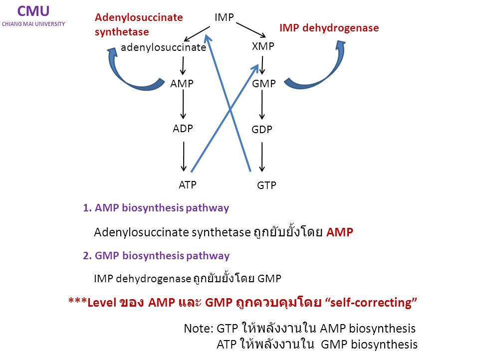 CMU Adenylosuccinate synthetase ถูกยับยั้งโดย AMP