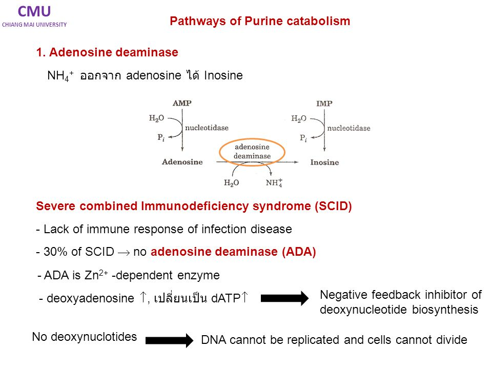 CMU Pathways of Purine catabolism 1. Adenosine deaminase