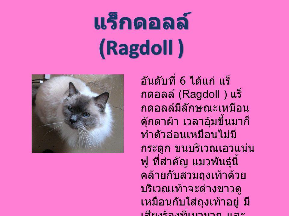 แร็กดอลล์ (Ragdoll )