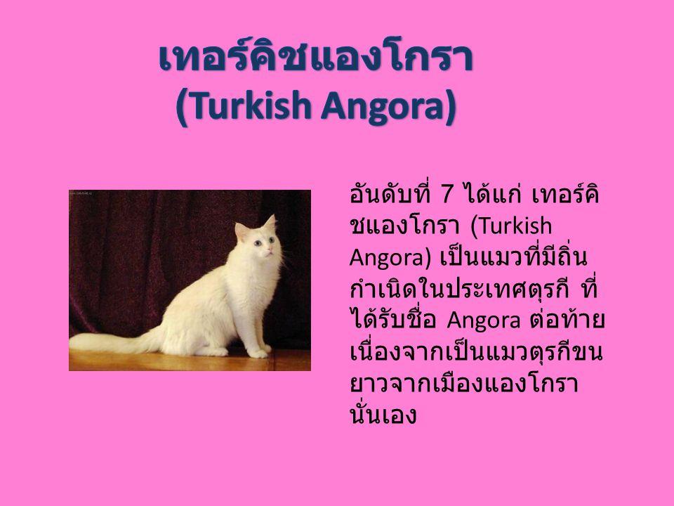 เทอร์คิชแองโกรา (Turkish Angora)