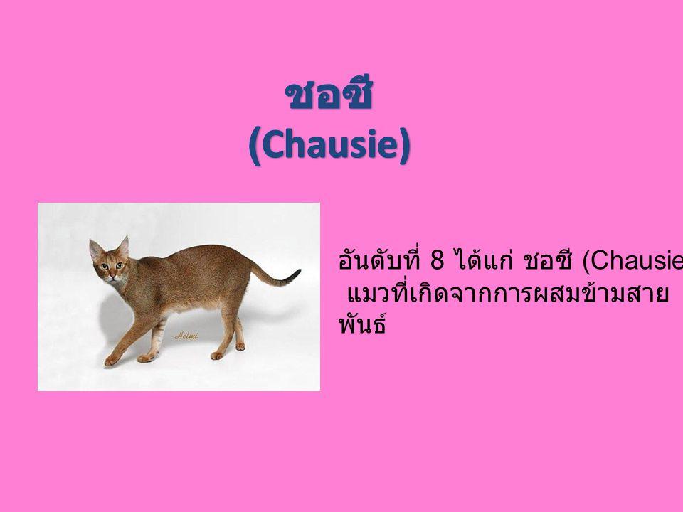 ชอซี (Chausie) อันดับที่ 8 ได้แก่ ชอซี (Chausie)