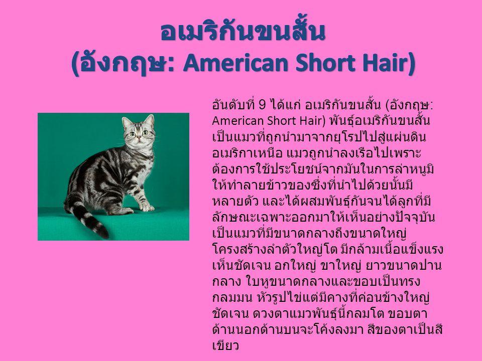 (อังกฤษ: American Short Hair)