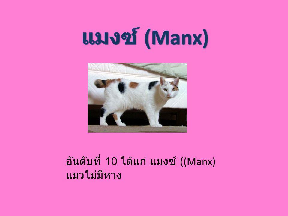 แมงซ์ (Manx) อันดับที่ 10 ได้แก่ แมงซ์ ((Manx) แมวไม่มีหาง