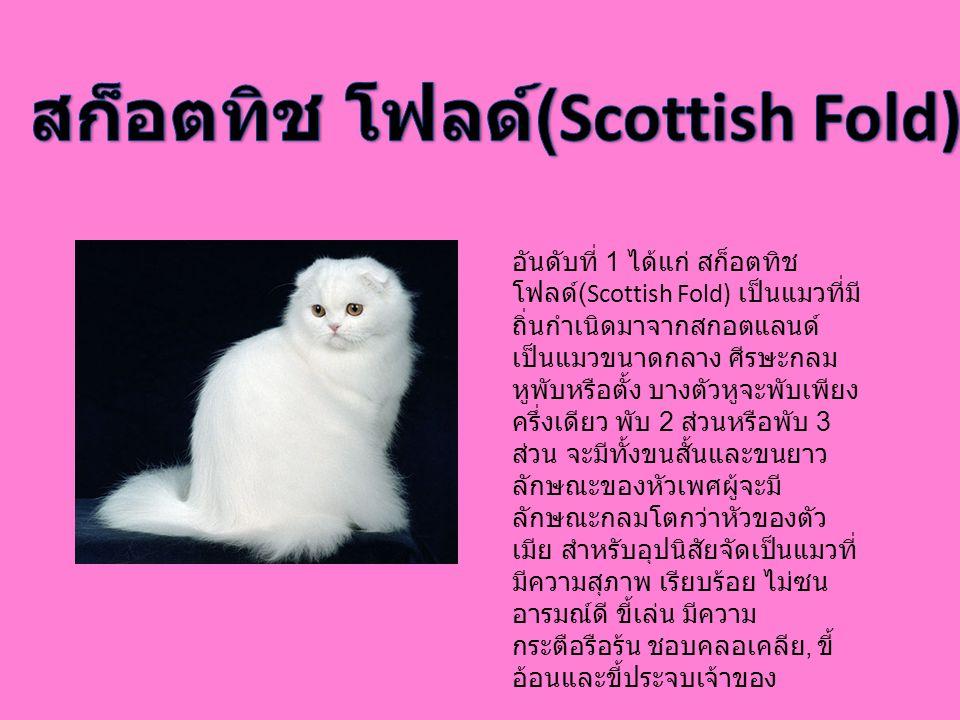 สก็อตทิช โฟลด์(Scottish Fold)