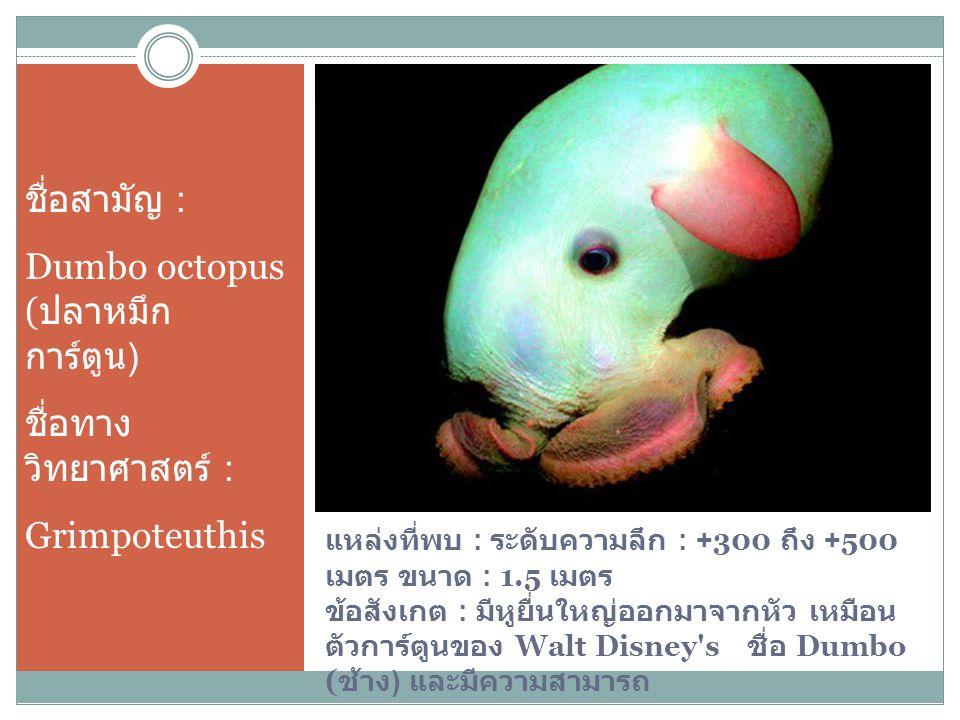 Dumbo octopus (ปลาหมึกการ์ตูน) ชื่อทางวิทยาศาสตร์ : Grimpoteuthis