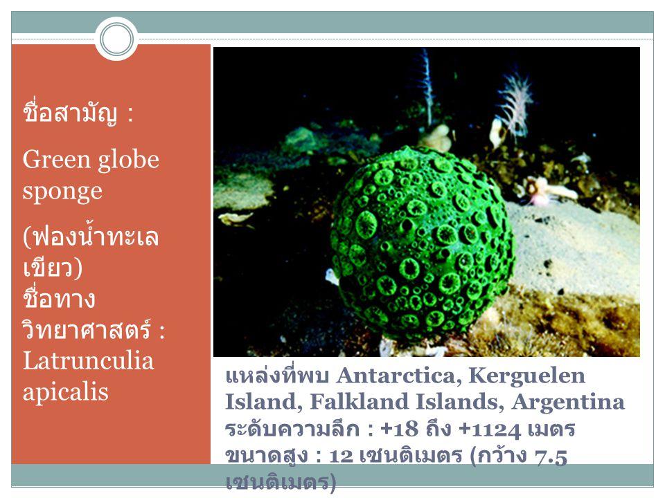 (ฟองน้ำทะเลเขียว) ชื่อทางวิทยาศาสตร์ : Latrunculia apicalis