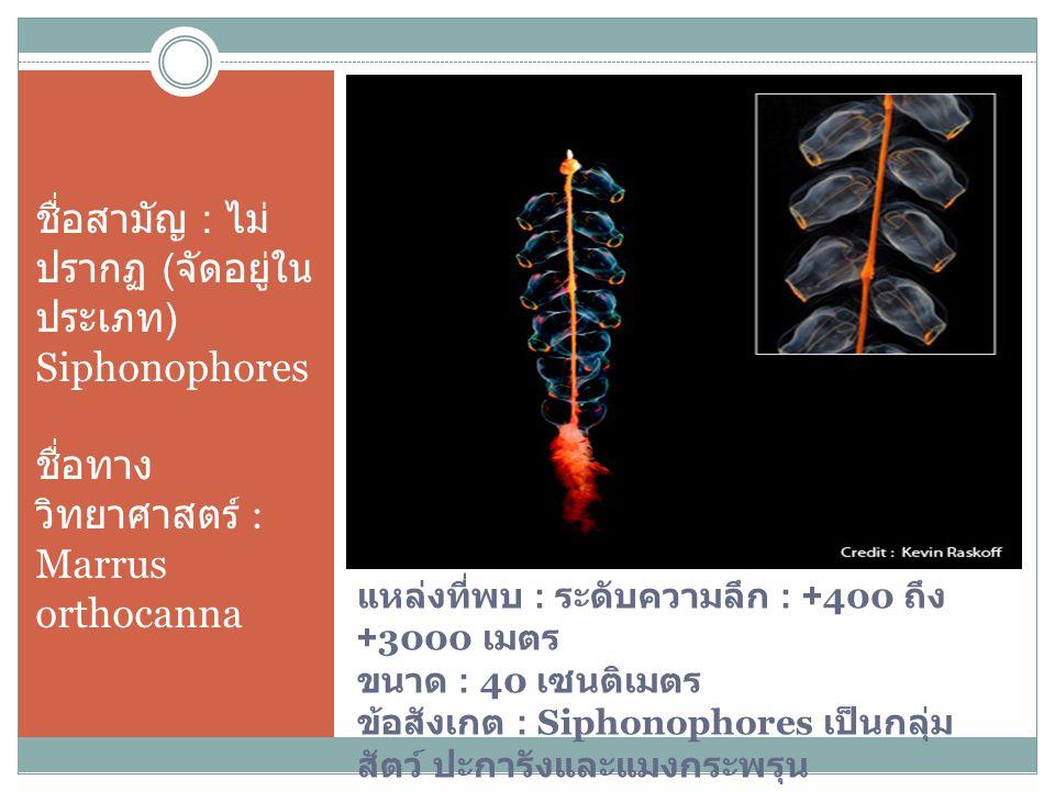 ชื่อสามัญ : ไม่ปรากฏ (จัด อยู่ในประเภท) Siphonophores ชื่อทางวิทยาศาสตร์ : Marrus orthocanna