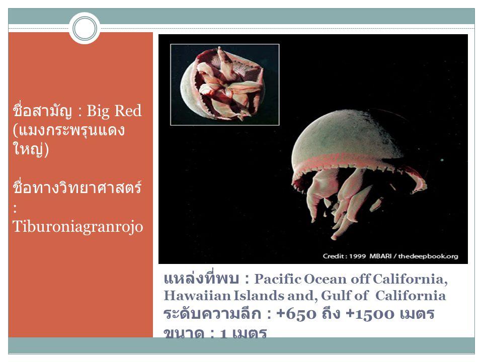 ชื่อสามัญ : Big Red (แมงกระพรุนแดงใหญ่) ชื่อทางวิทยาศาสตร์ : Tiburoniagranrojo