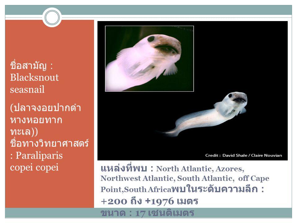 ชื่อสามัญ : Blacksnout seasnail