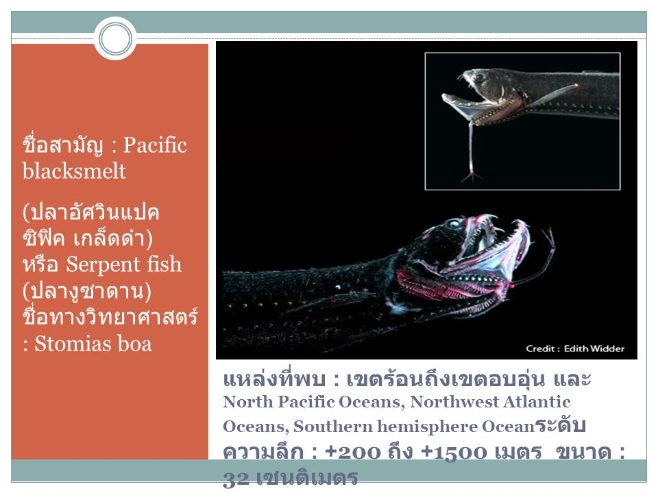 ชื่อสามัญ : Pacific blacksmelt