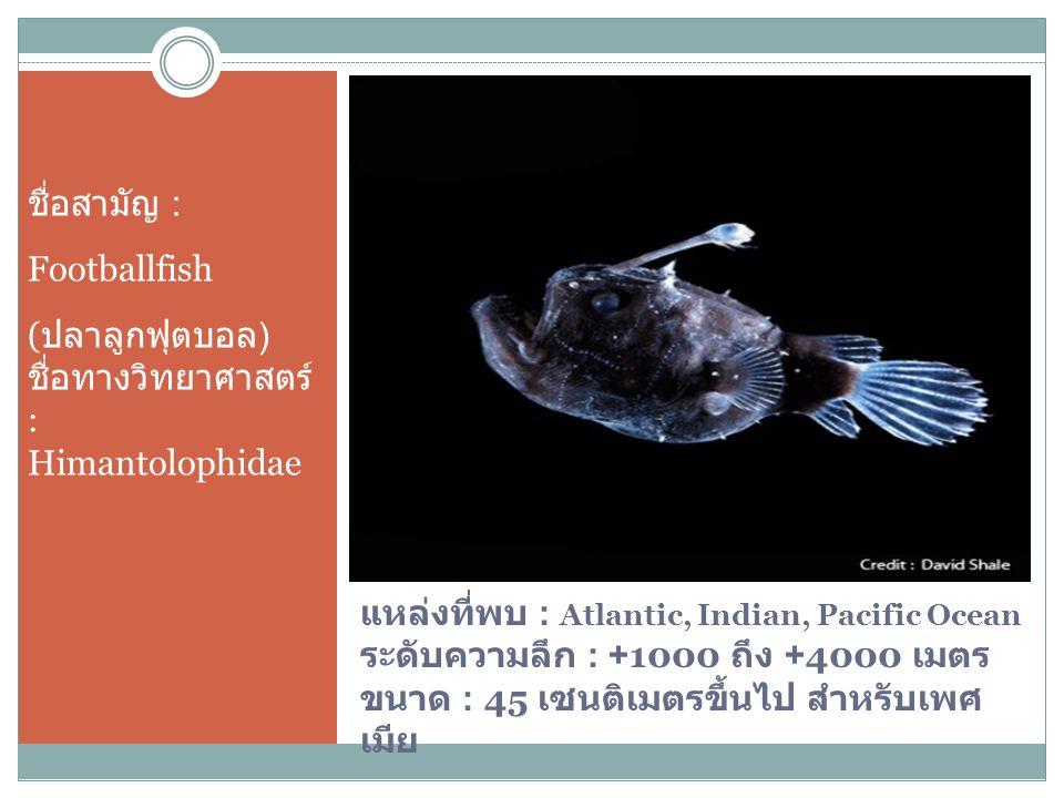 ชื่อสามัญ : Footballfish. (ปลาลูกฟุตบอล) ชื่อทางวิทยาศาสตร์ : Himantolophidae.