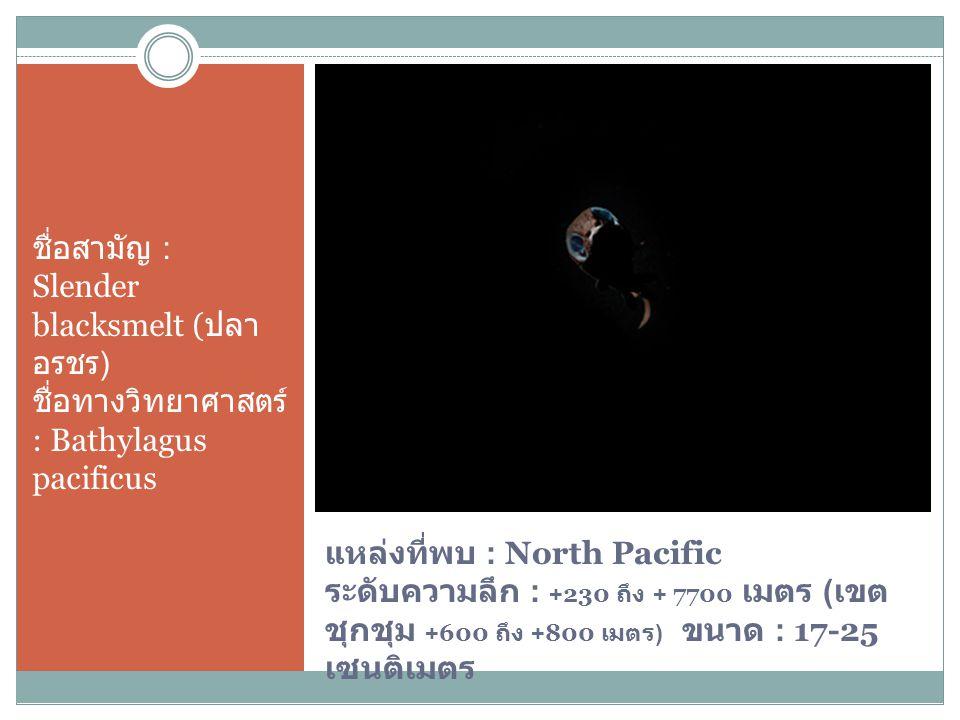 ชื่อสามัญ : Slender blacksmelt (ปลา อรชร) ชื่อทางวิทยาศาสตร์ : Bathylagus pacificus