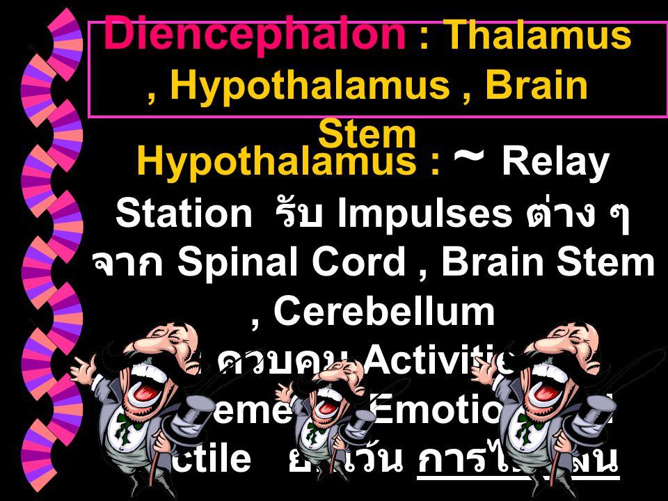 Diencephalon : Thalamus , Hypothalamus , Brain Stem