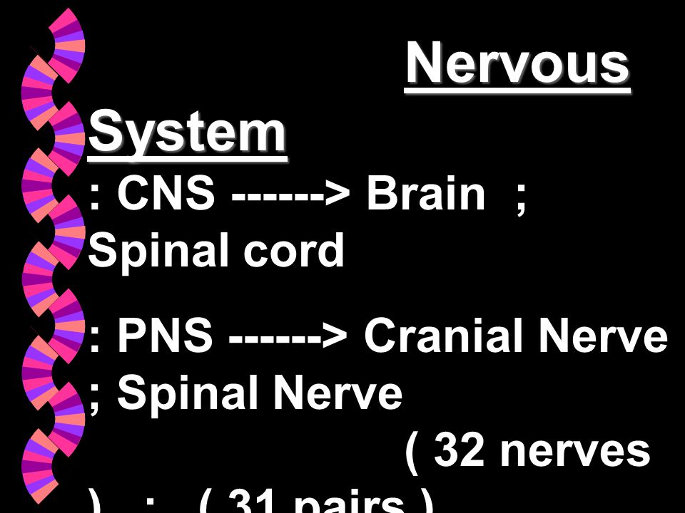 Nervous System : CNS ------> Brain ; Spinal cord