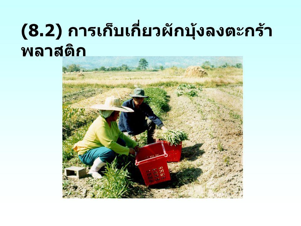 (8.2) การเก็บเกี่ยวผักบุ้งลงตะกร้าพลาสติก