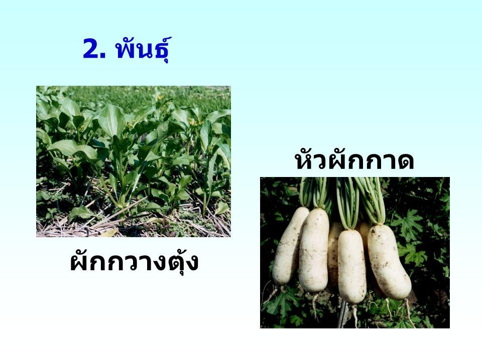 2. พันธุ์ หัวผักกาด ผักกวางตุ้ง
