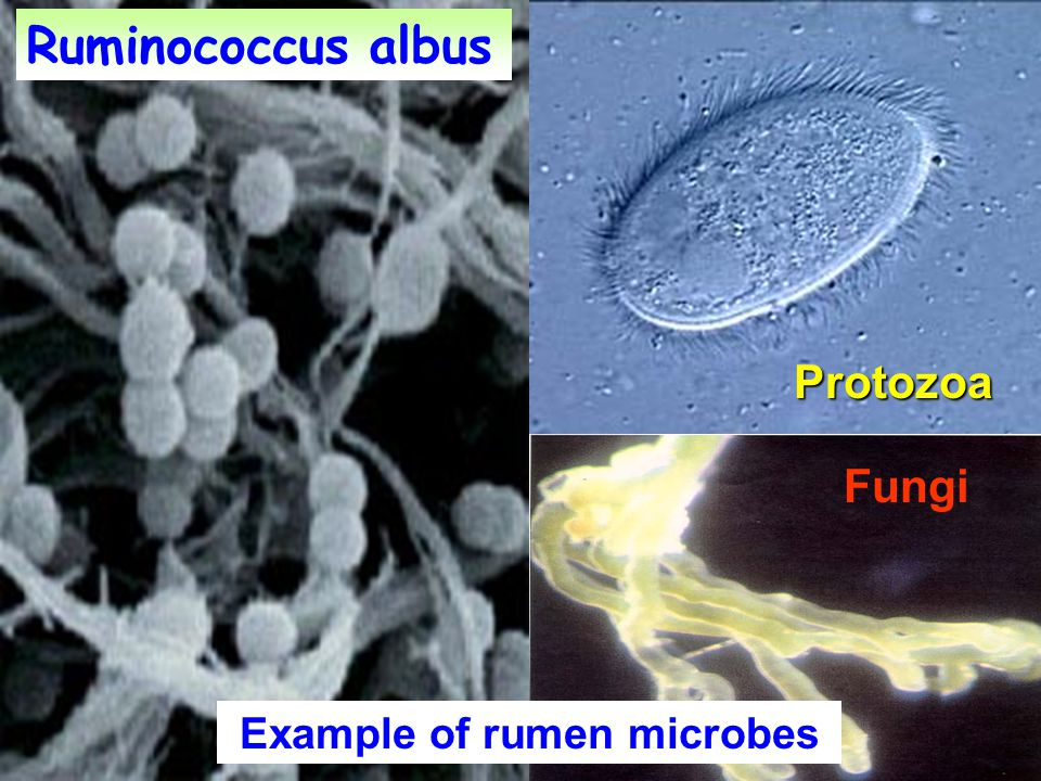 Example of rumen microbes