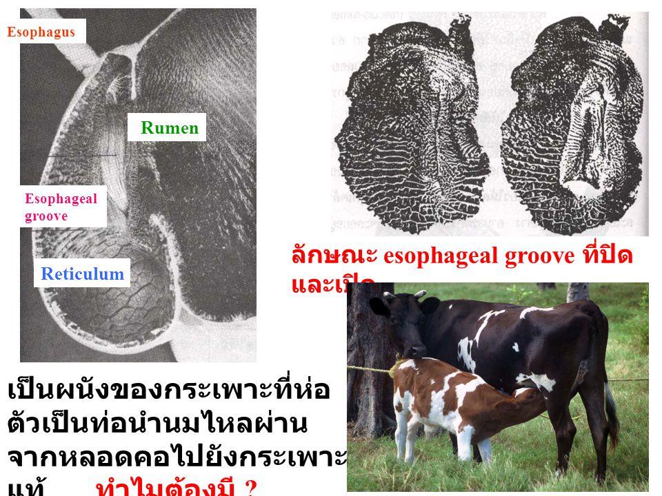 Esophagus Rumen. Esophageal groove. ลักษณะ esophageal groove ที่ปิดและเปิด. Reticulum.