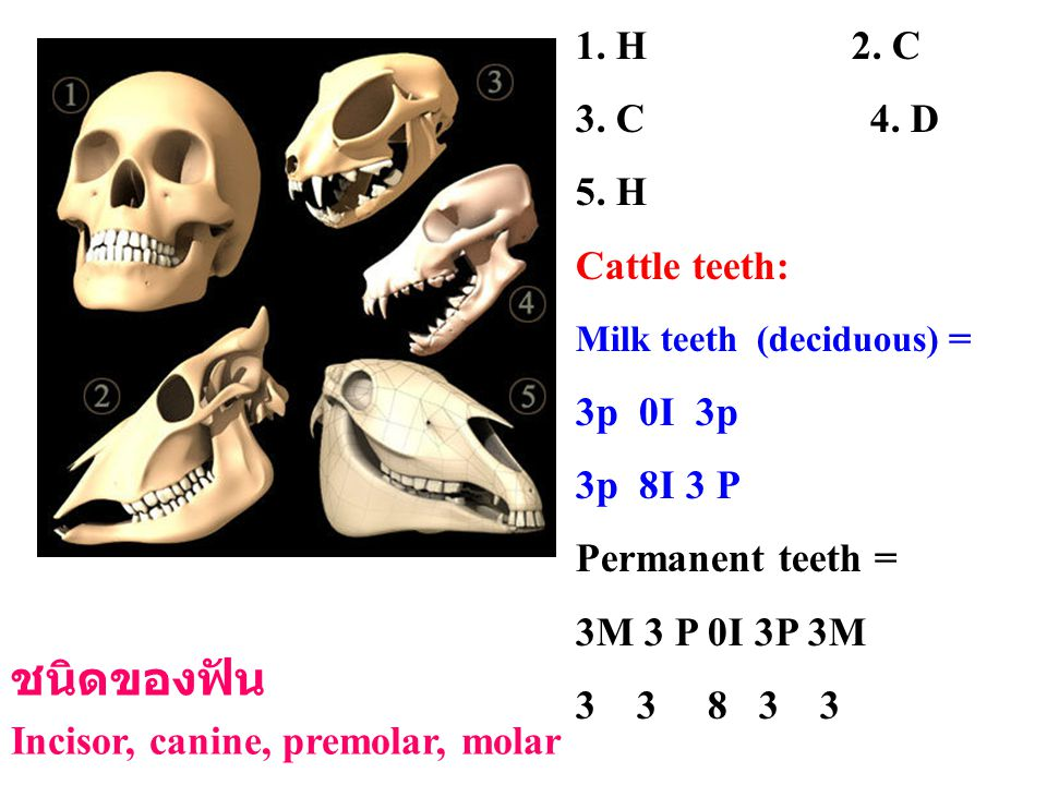 ชนิดของฟัน 1. H 2. C 3. C 4. D 5. H Cattle teeth: 3p 0I 3p 3p 8I 3 P