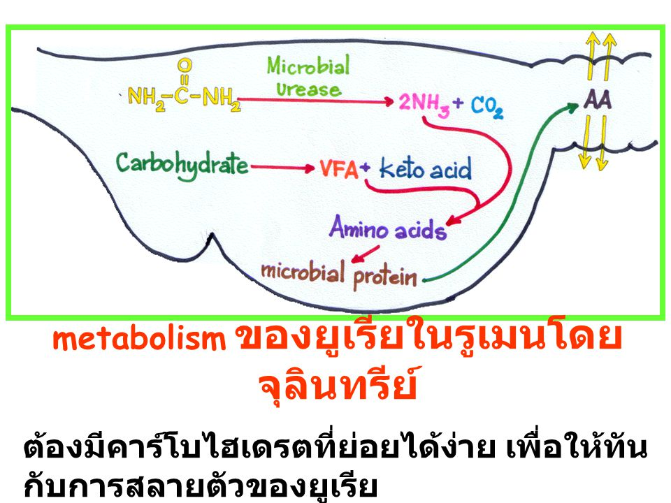 metabolism ของยูเรียในรูเมนโดยจุลินทรีย์