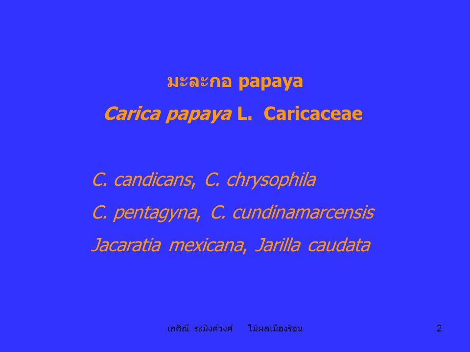 Carica papaya L. Caricaceae
