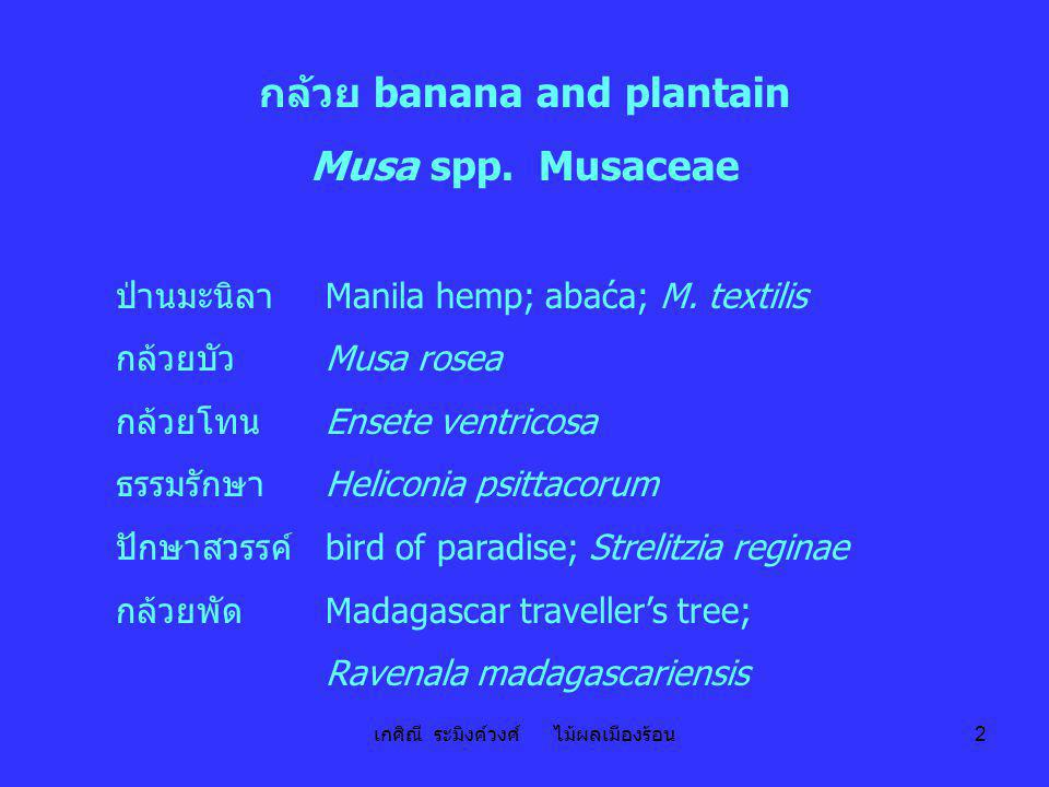 กล้วย banana and plantain