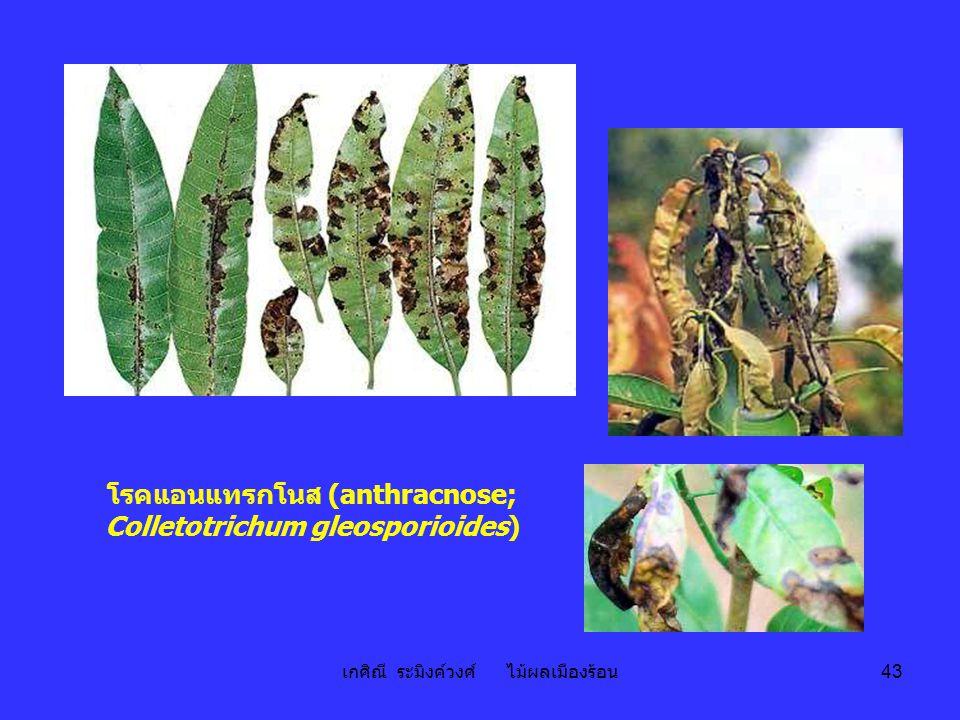 โรคแอนแทรกโนส (anthracnose; Colletotrichum gleosporioides)
