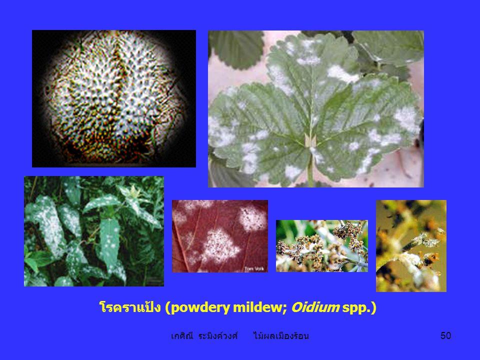 โรคราแป้ง (powdery mildew; Oidium spp.)