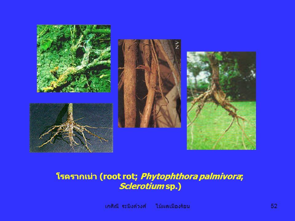 โรครากเน่า (root rot; Phytophthora palmivora; Sclerotium sp.)
