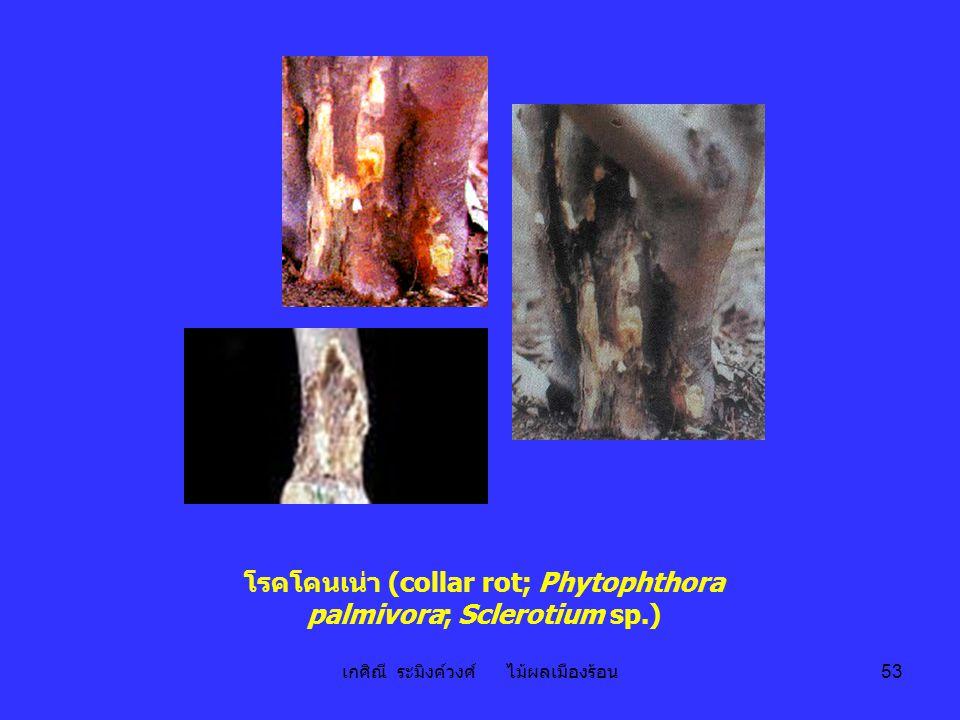 โรคโคนเน่า (collar rot; Phytophthora palmivora; Sclerotium sp.)