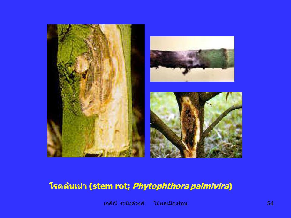 โรคต้นเน่า (stem rot; Phytophthora palmivira)