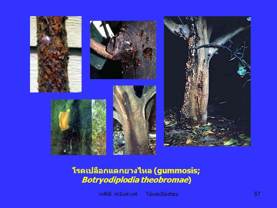 โรคเปลือกแตกยางไหล (gummosis; Botryodiplodia theobromae)