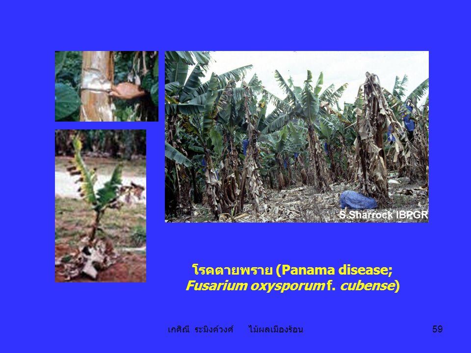 โรคตายพราย (Panama disease; Fusarium oxysporum f. cubense)
