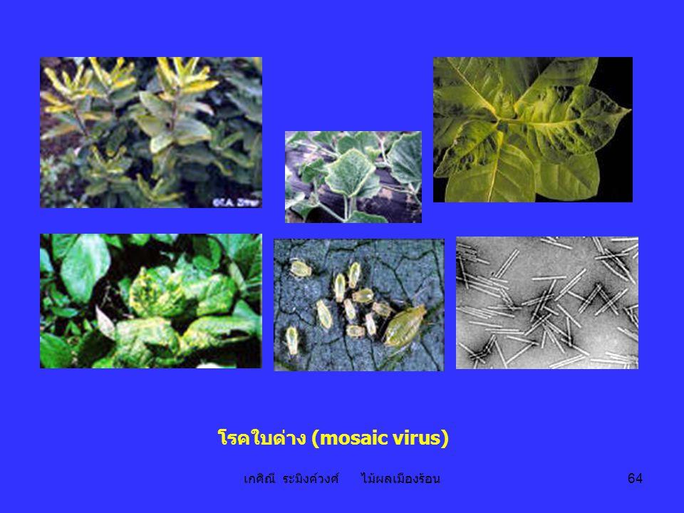 โรคใบด่าง (mosaic virus)