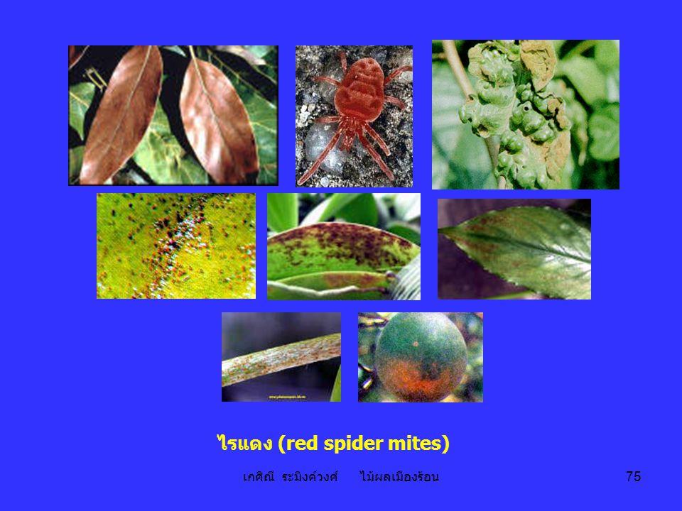 ไรแดง (red spider mites)