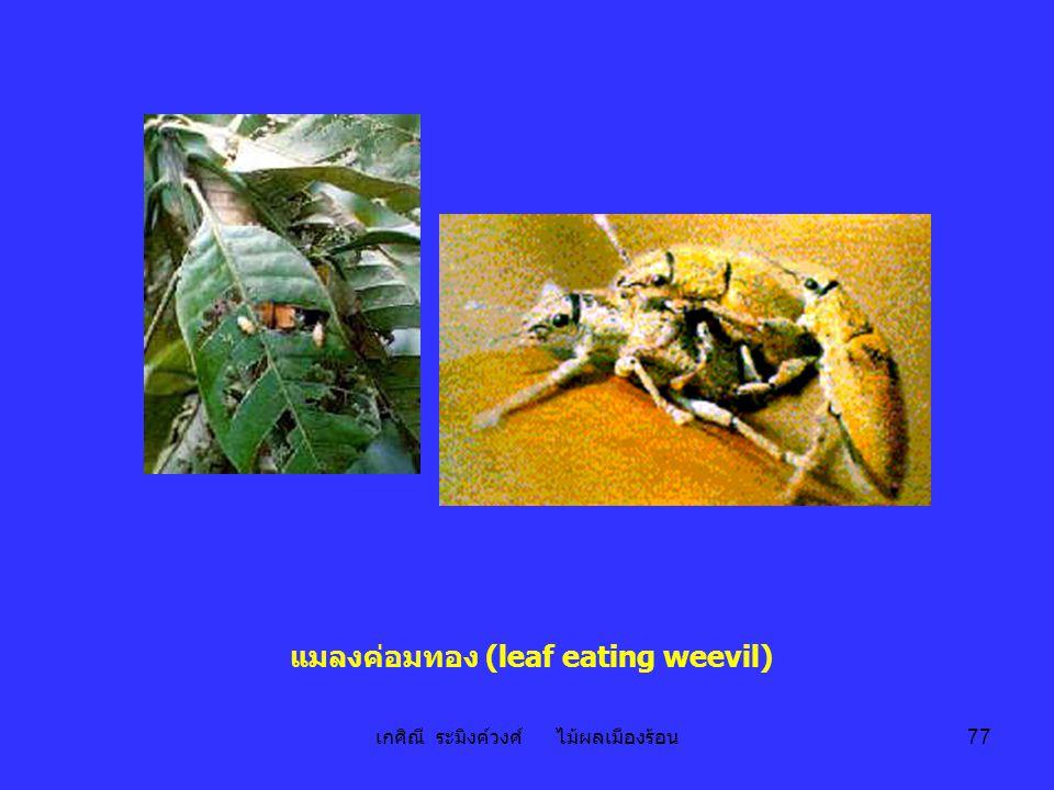 แมลงค่อมทอง (leaf eating weevil)