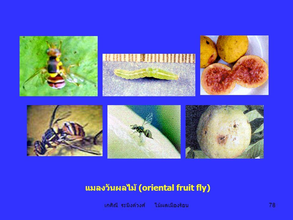 แมลงวันผลไม้ (oriental fruit fly)