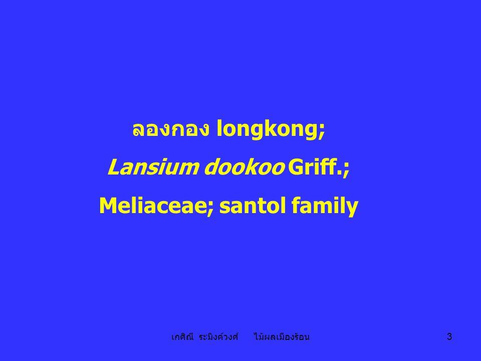ลองกอง longkong; Lansium dookoo Griff.;