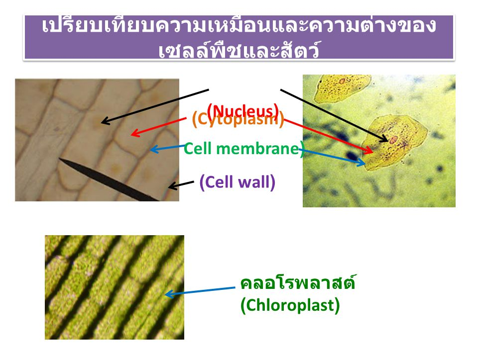 เปรียบเทียบความเหมือนและความต่างของเซลล์พืชและสัตว์