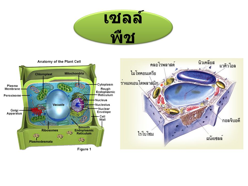 เซลล์พืช