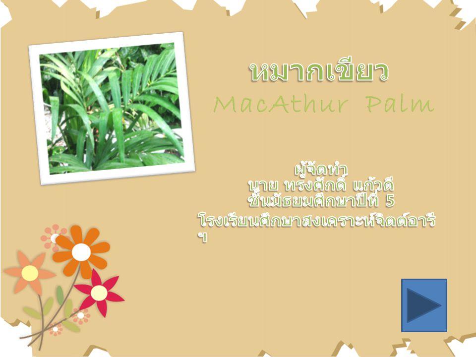 หมากเขียว MacAthur Palm