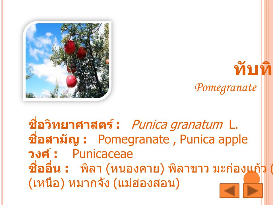 ทับทิม ชื่อวิทยาศาสตร์ : Punica granatum L.