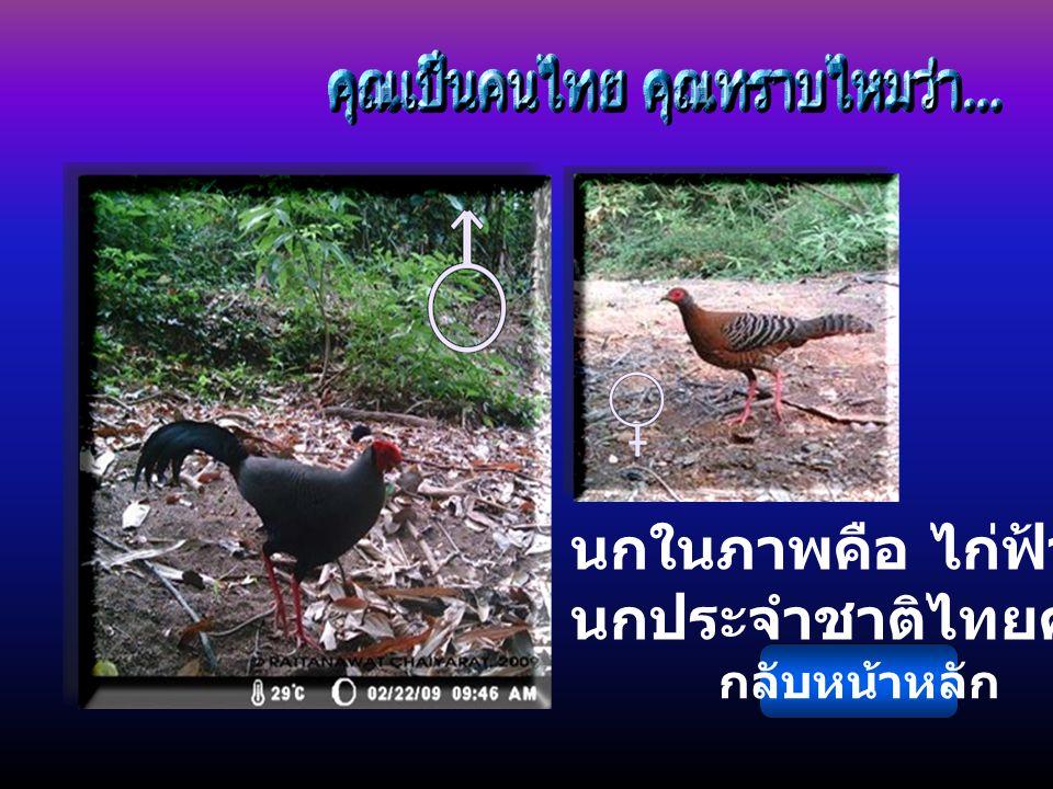 นกในภาพคือ ไก่ฟ้าพญาลอ นกประจำชาติไทยครับ