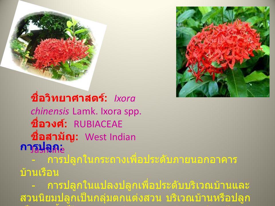 ชื่อวิทยาศาสตร์: Ixora chinensis Lamk. Ixora spp