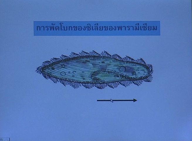 การพัดโบกของซิเลียของพารามีเซียม